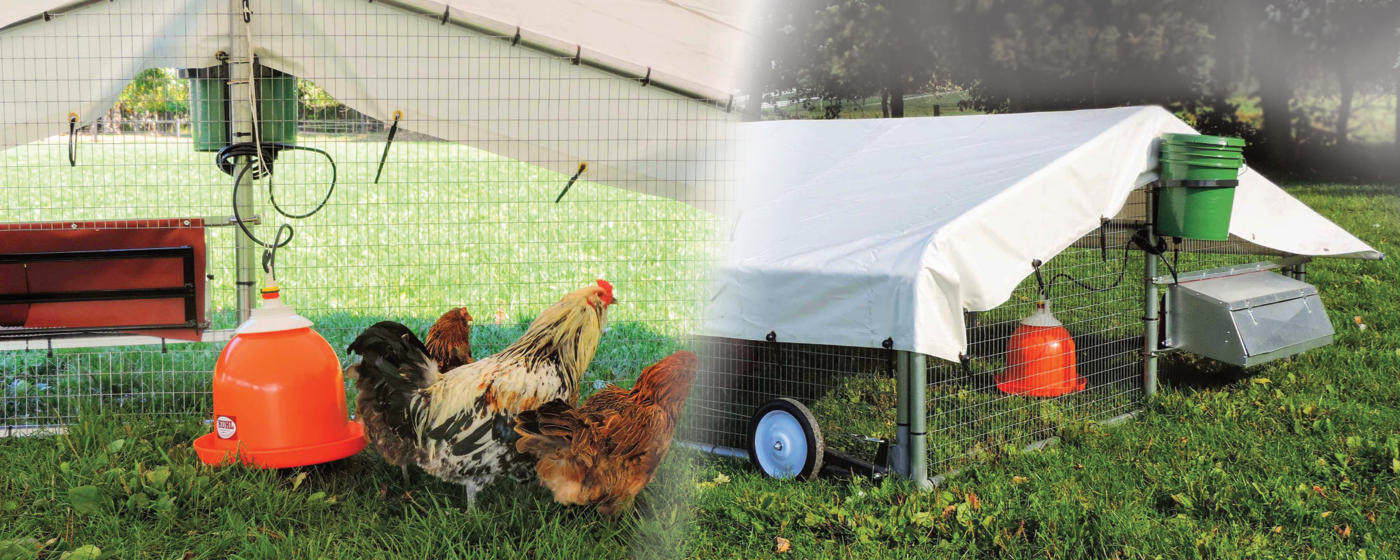 mobile chicken coop with layers hens enjoying pasture