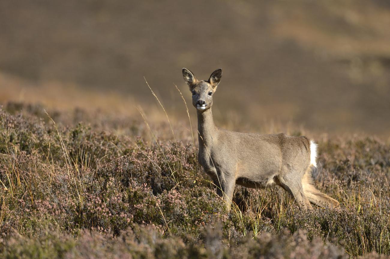 Deer | NatureScot