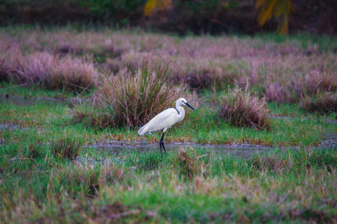 Shallow Photography of Great Egret