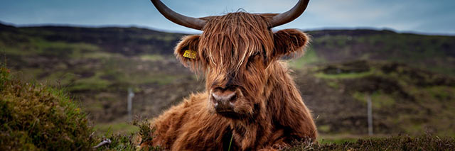 Highland cow, Ben Nevis, Scotland