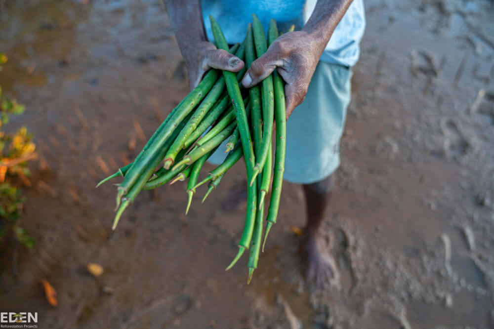 A mans hands looking down, holding mangrove shoots ready to be planted. He's wearing a blue t-shirt and shorts and is standing in wet clay ready to plant.