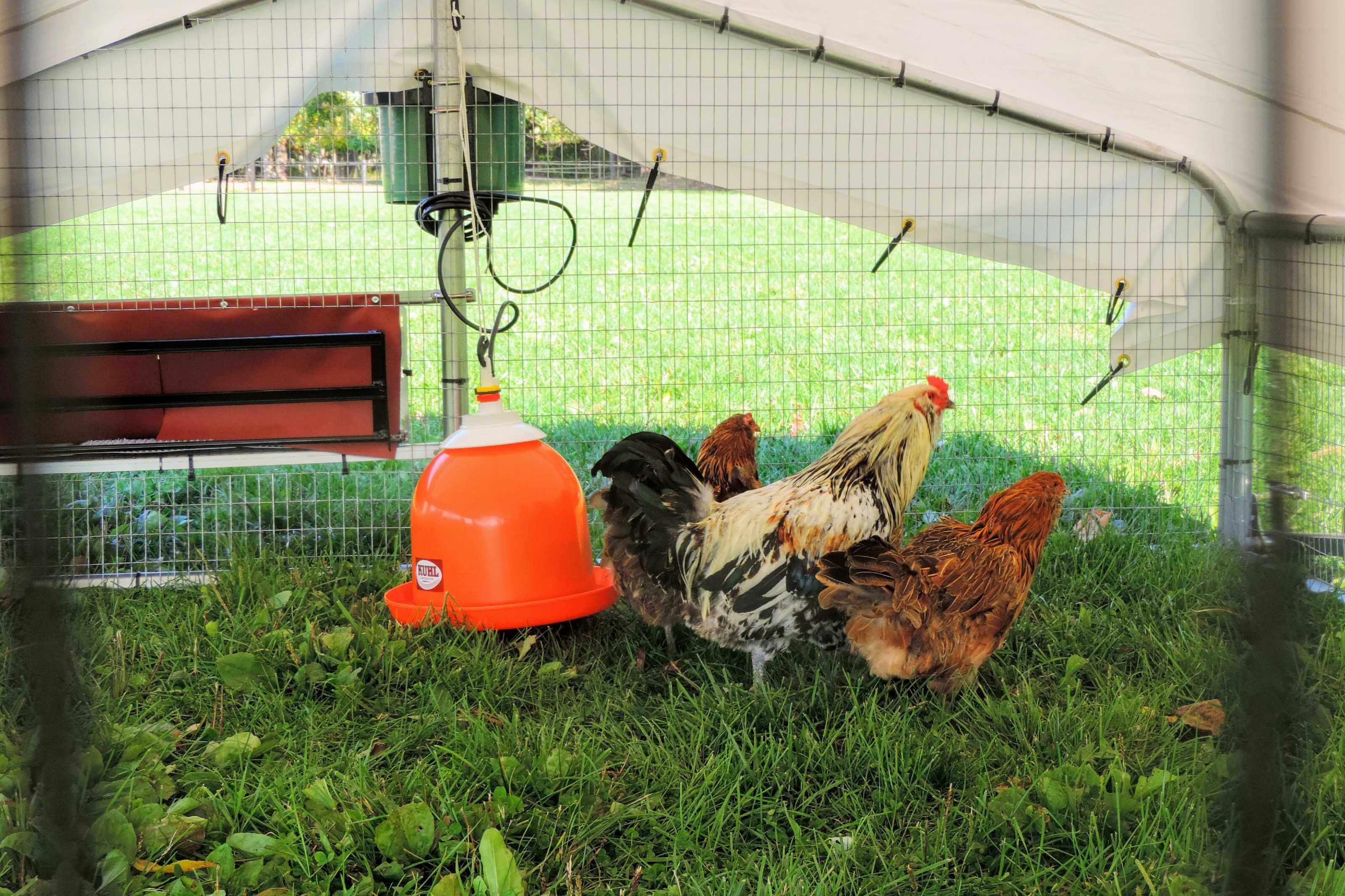 Chickens enjoying roomy chicken range coop