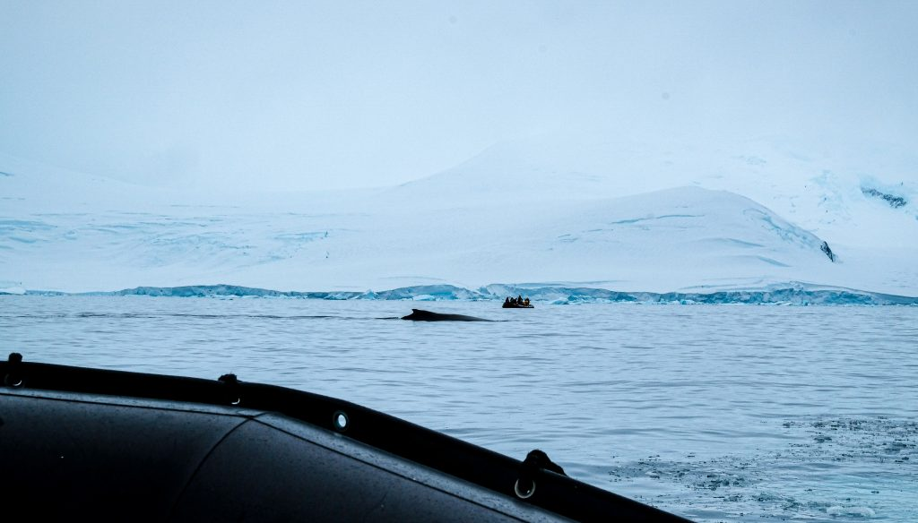 Humpback Whale Spotted, Hanusse Bay