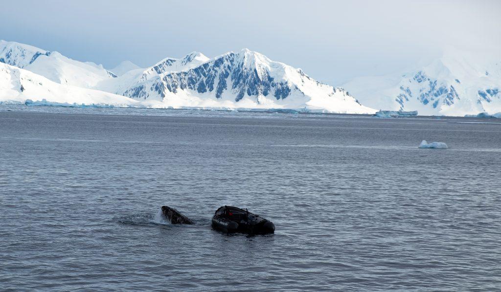 Humpback Whale vs. Marine Biologist, Hanusse Bay