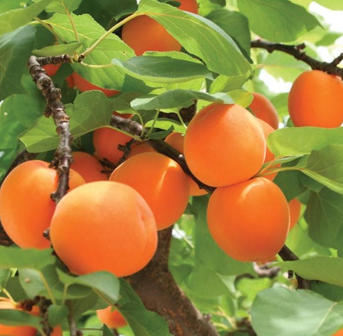 Apricot Farming