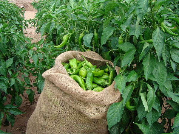 Chili processing & manufacturing software