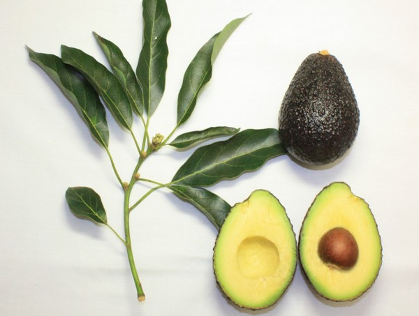 Avocado Packing & Processing Solution Avocado Oil