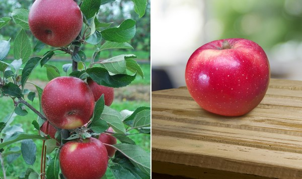 Apple packing solution for apple packers & processors