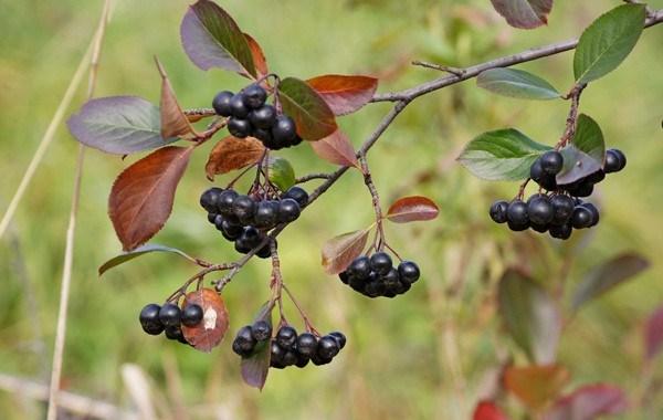 Chokeberry (Aronia)