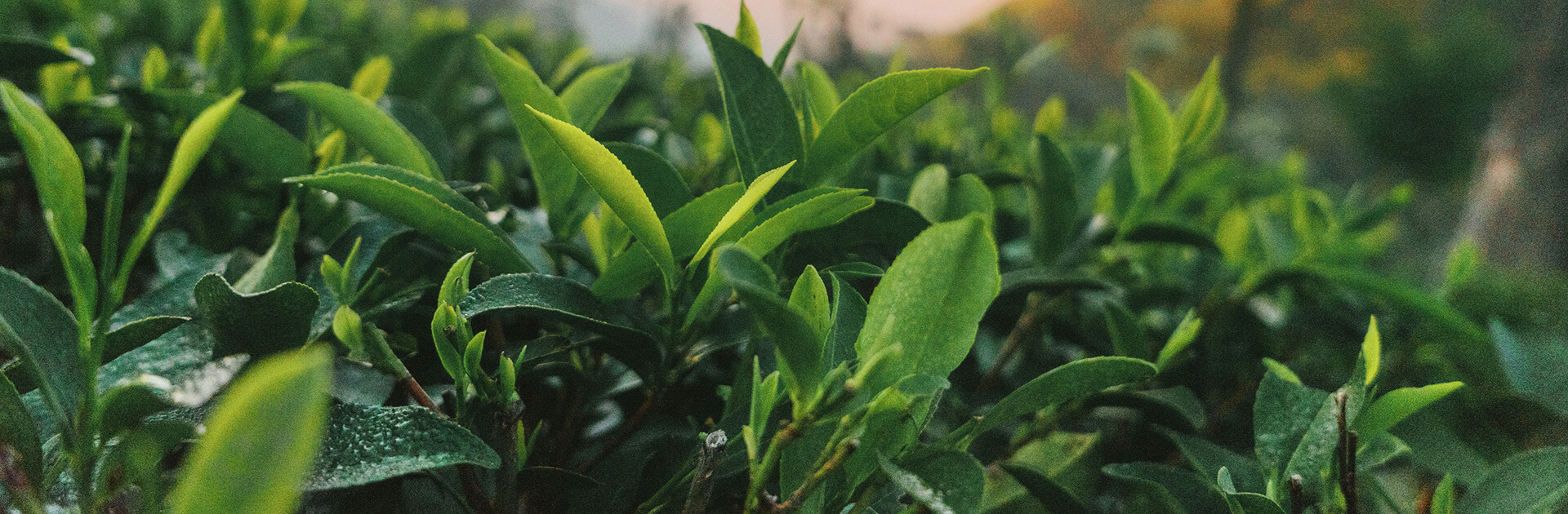 Instant tea extract production process