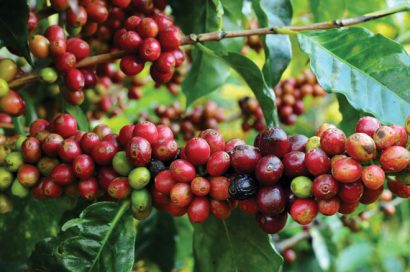 coffee-production