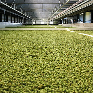 Hop drying hop palletization