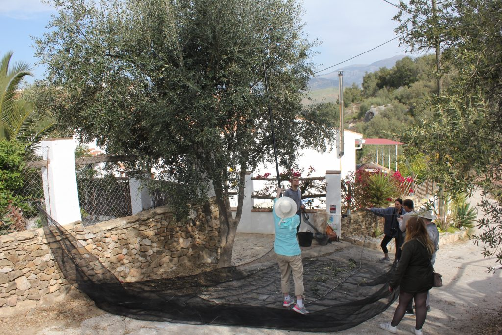 olive oil production process