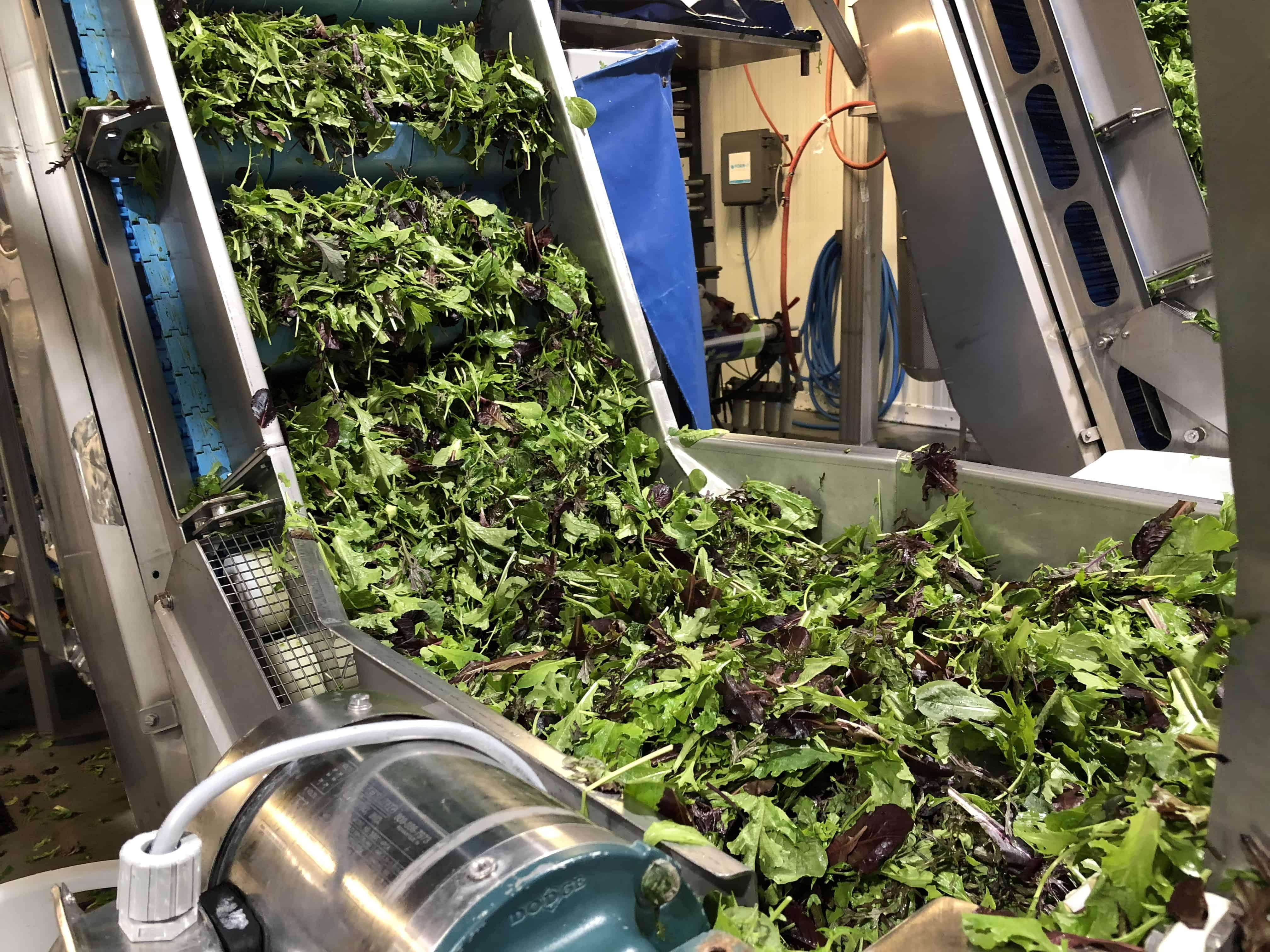 Salad Processing – Creating Spring Mix