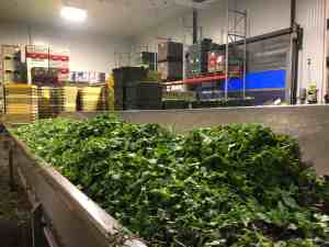 Spring Mix Packing - Creating the Lettuce Mixture