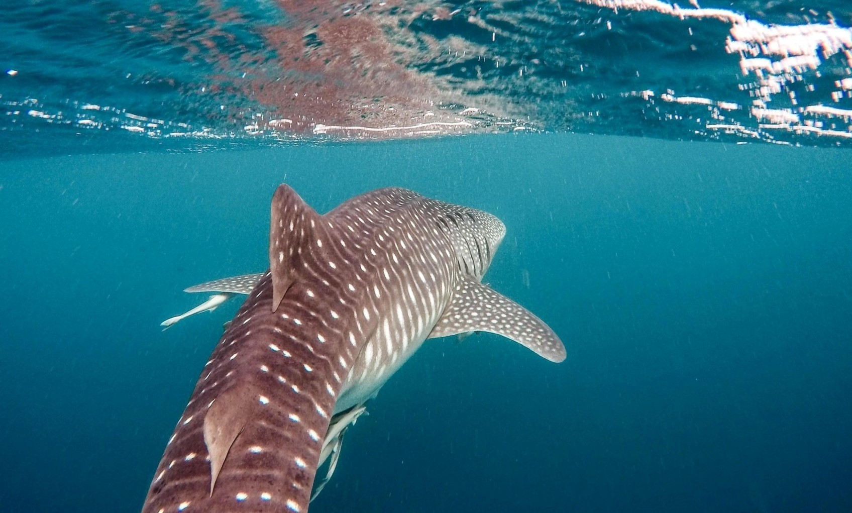 A Whale Shark in the blue waters of Ningaloo Reef, Western Australia