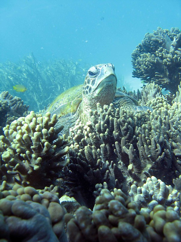 A turtle at Ningaloo Reef - Exmouth, Western Australia