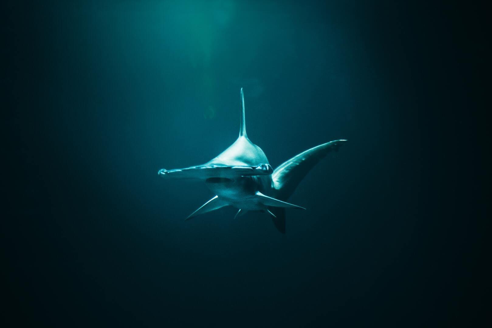 A hammerhead shark in the blue waters of Tubbataha Reefs Natural Park