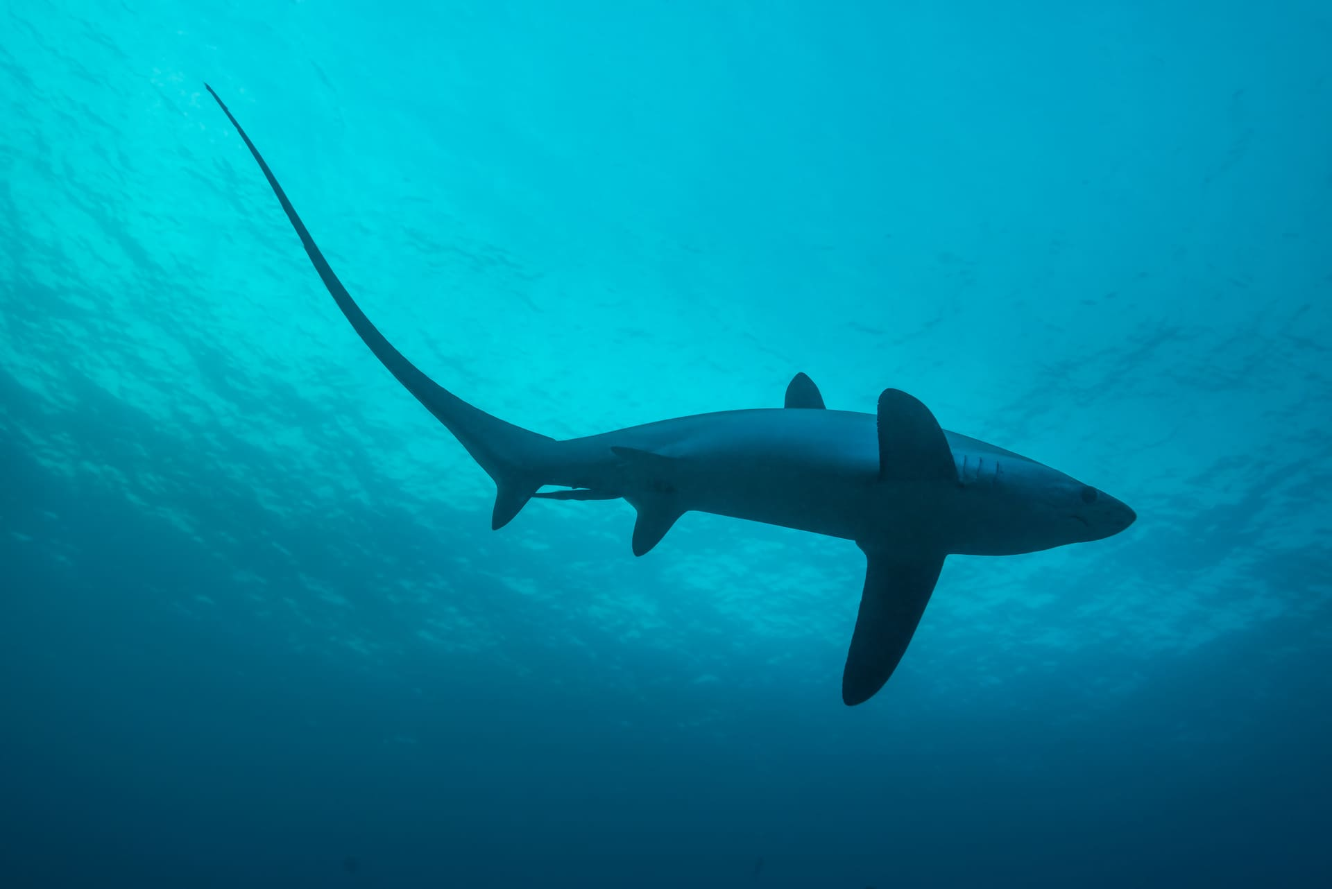 A thresher shark in the waters of Malapascua Island, the Philippines