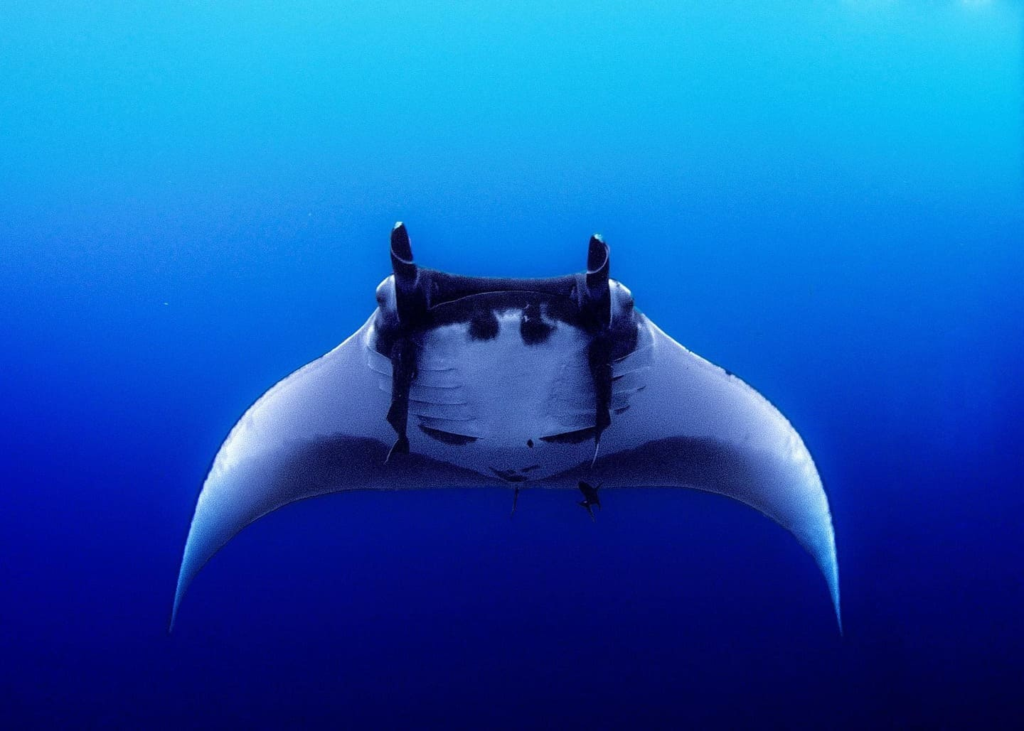 A Manta ray in the Ticao Pass in Masbate, Philippines