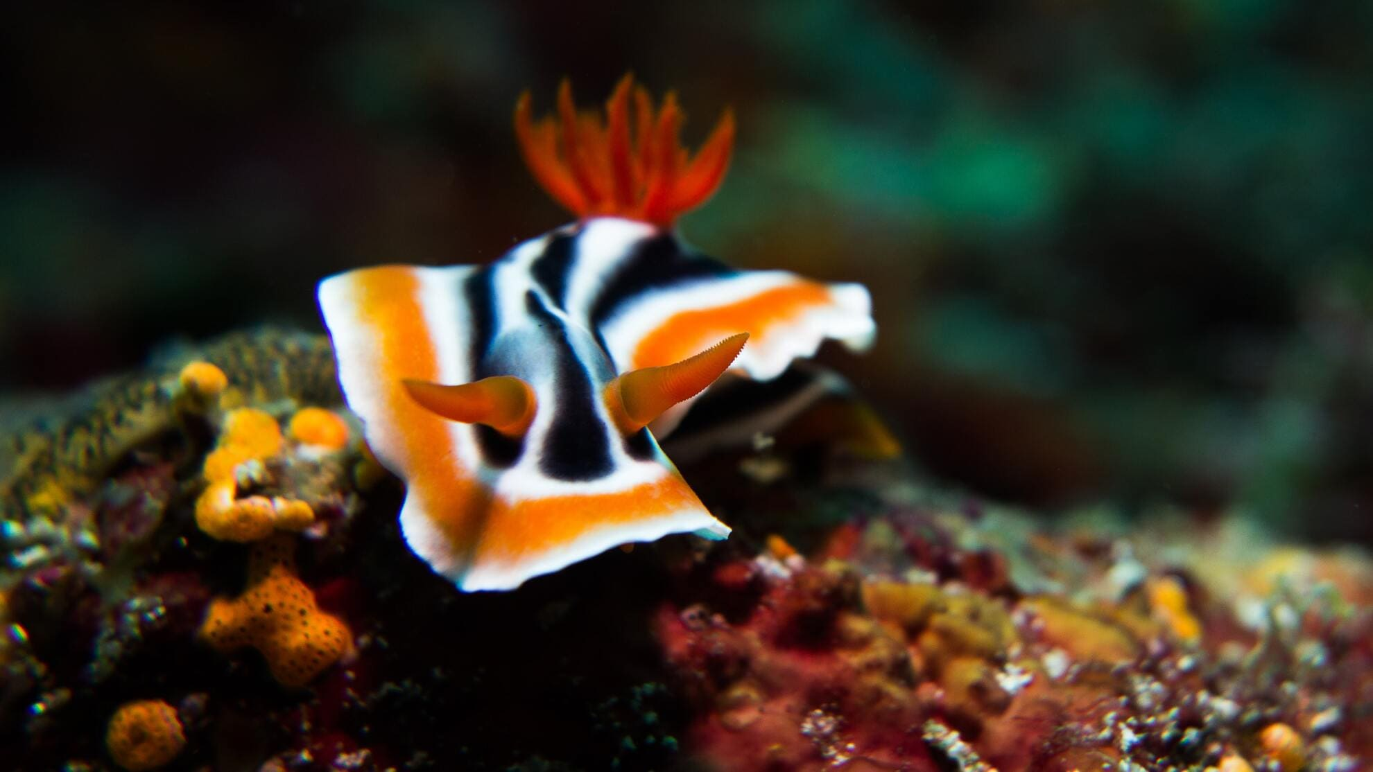A yellow and black nudibranch on the reef of Anilao Batangas, the Philippines