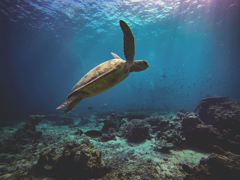 A green turtle in the Ocean near Sipidan, Malaysia
