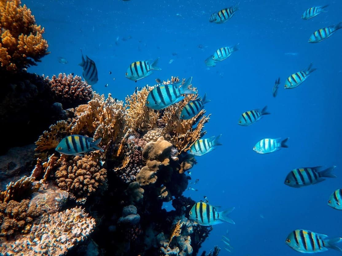 Blue fishes and corals in the Red Sea, Egypt