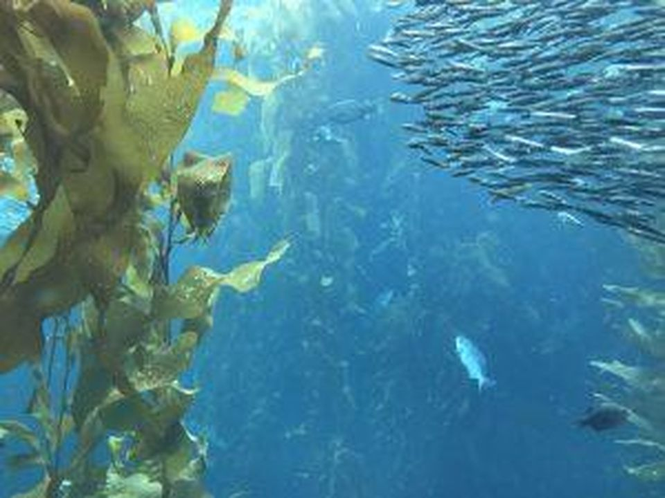 Sea kelp floating off the coast of California.