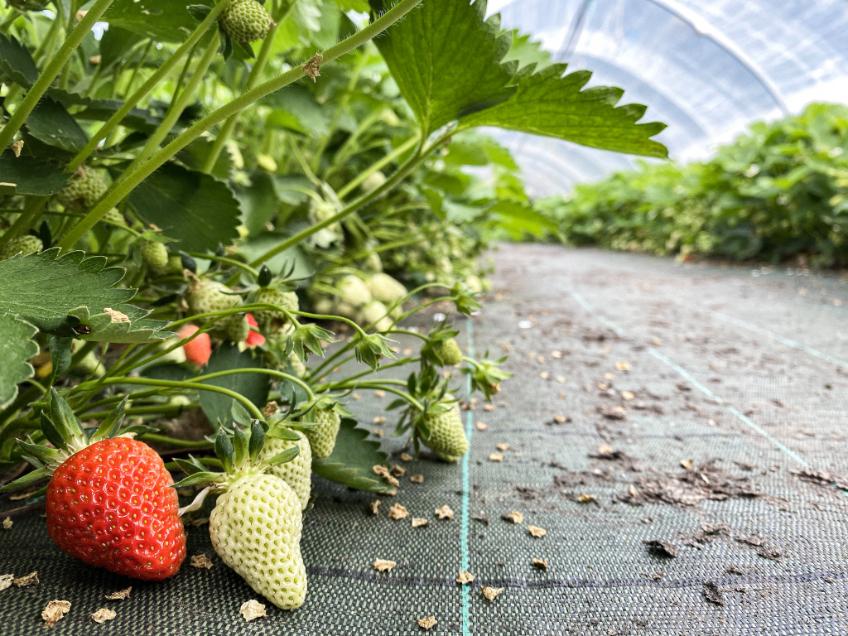 plan de fraises