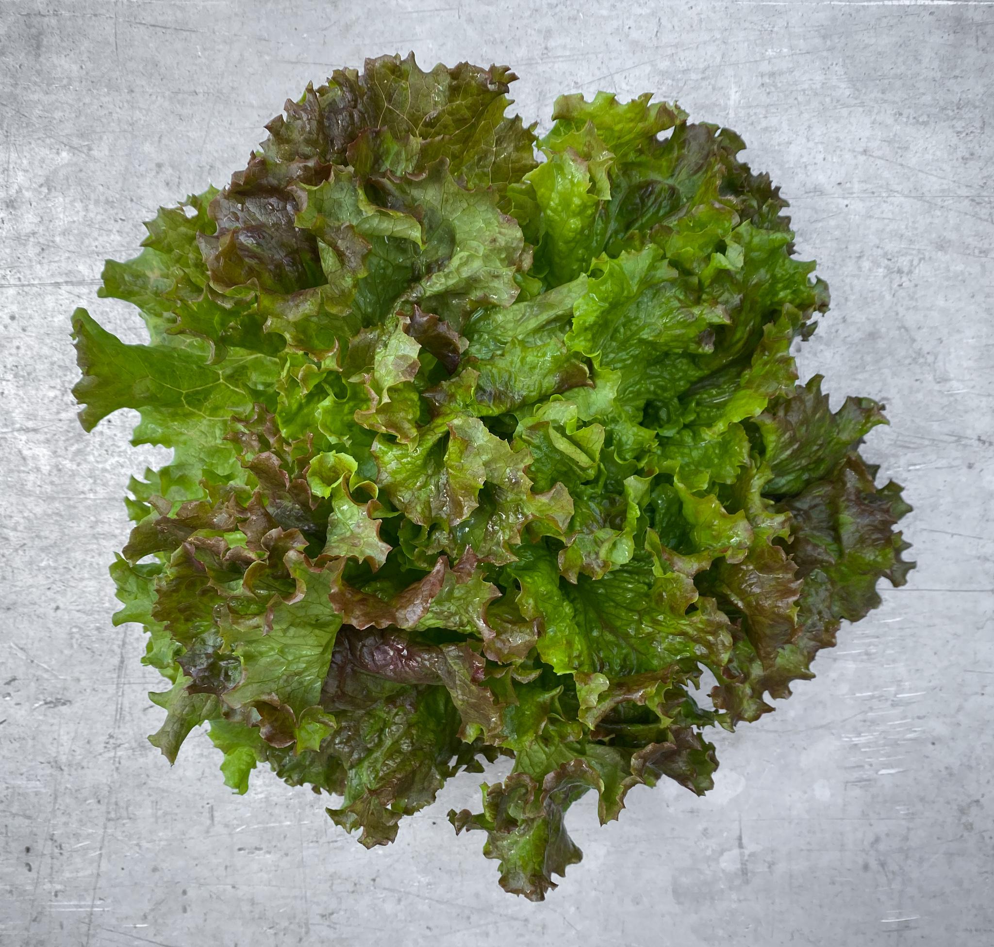 Salade batavia brune