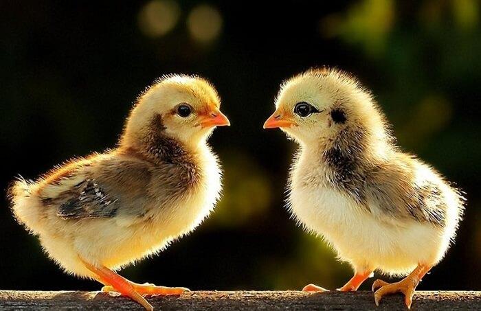 Mơ thấy gà con mới nở là điềm báo gì và nên đánh số gì? – Xoso88