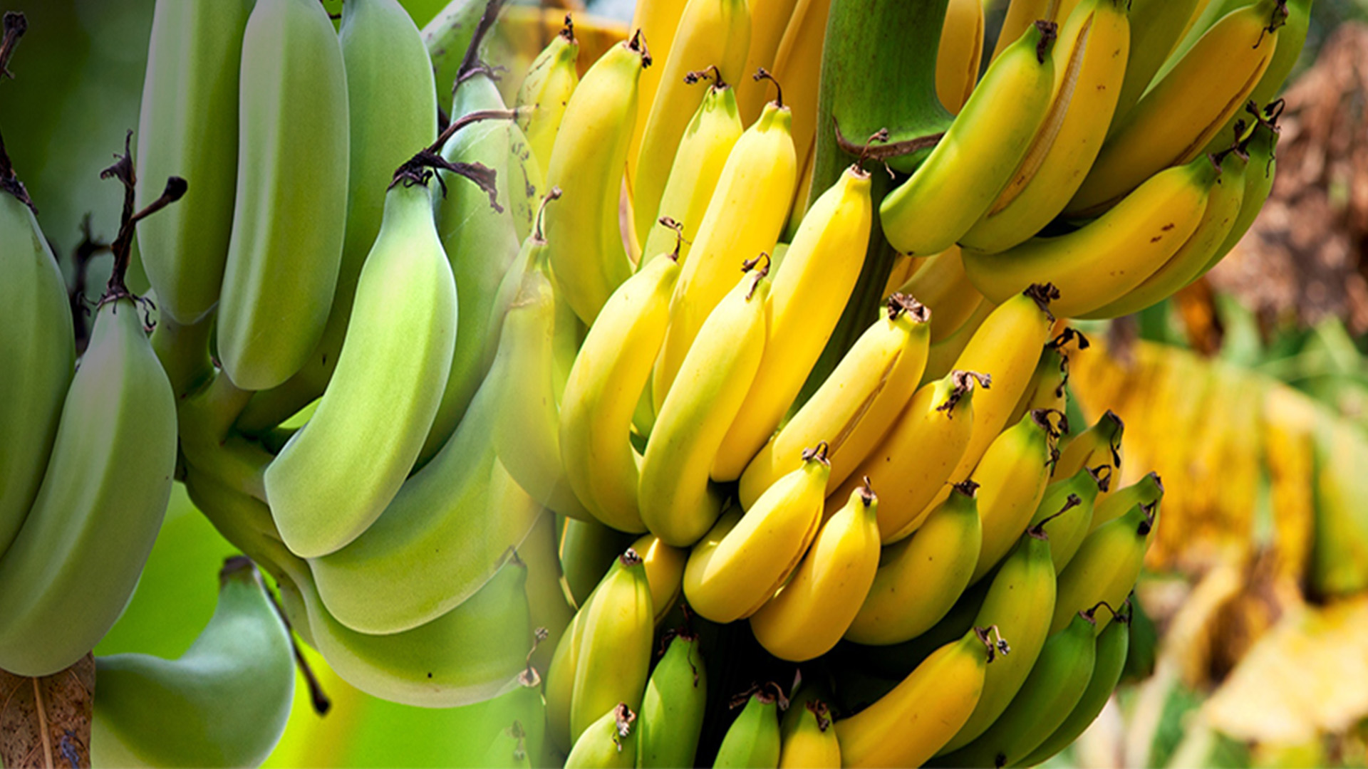 Banana - Ripening Chamber