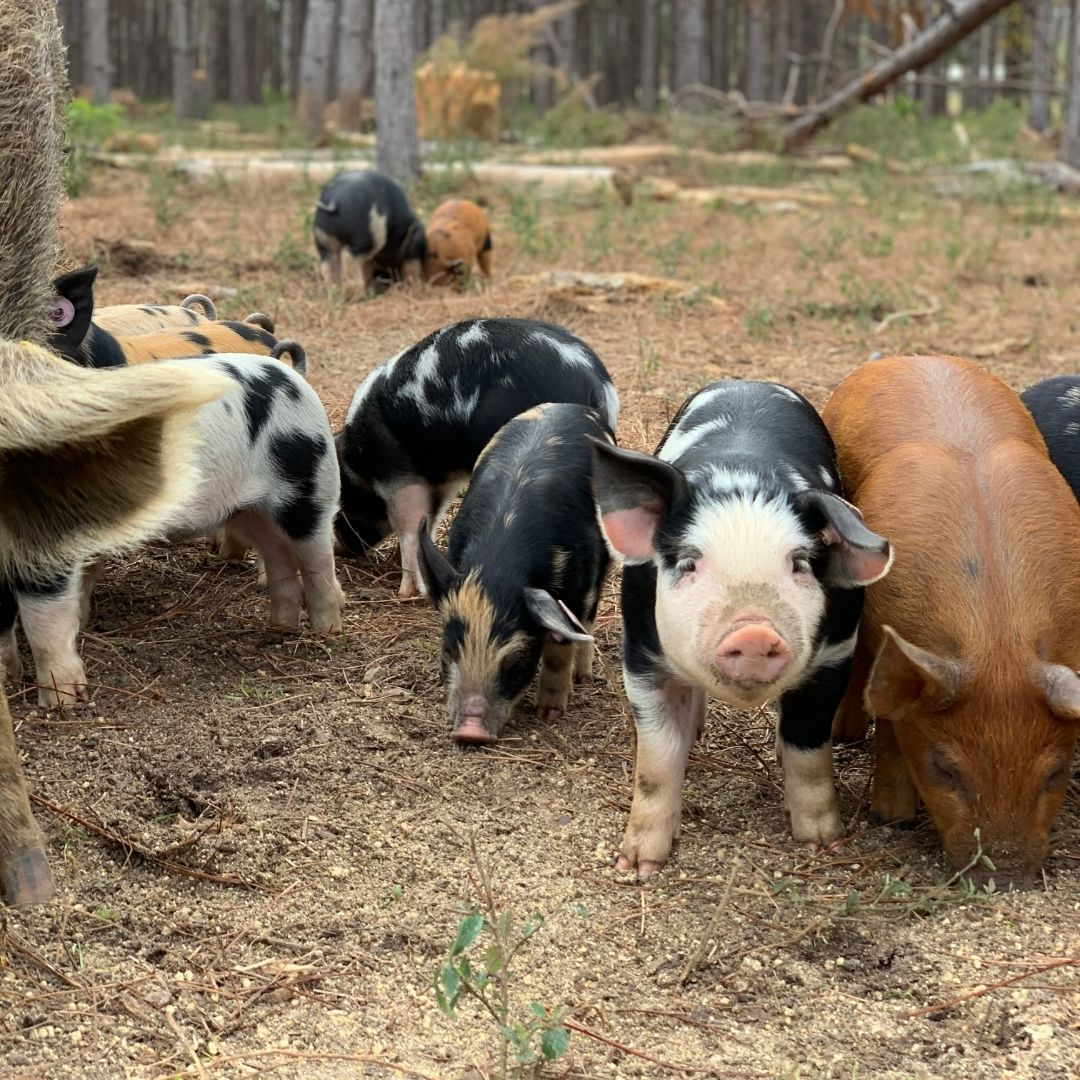 Pigs raised outdoors and in the woods can express their instinctual behavior and benefit the land.