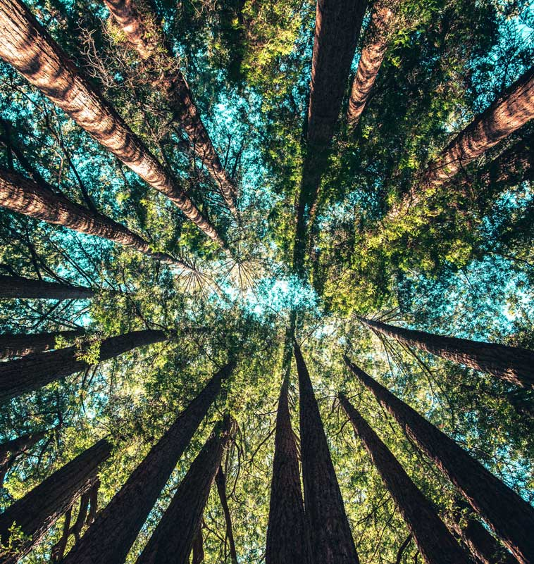 Looking up through the trees to the sky