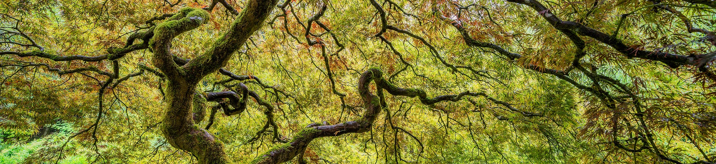 Photograph of Japanese Maple in Portland, Oregon by Brent Goldman Photography