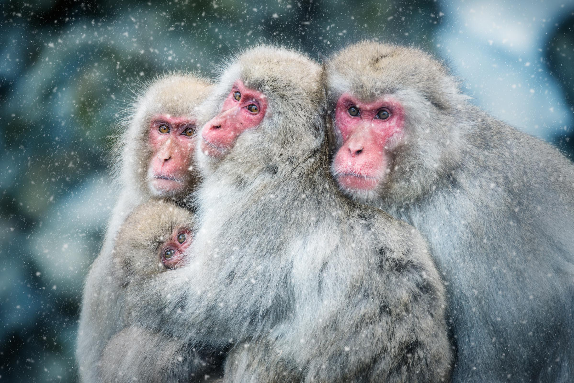 Photograph of Snow Monkeys in Nagano, Japan by Brent Goldman Photography