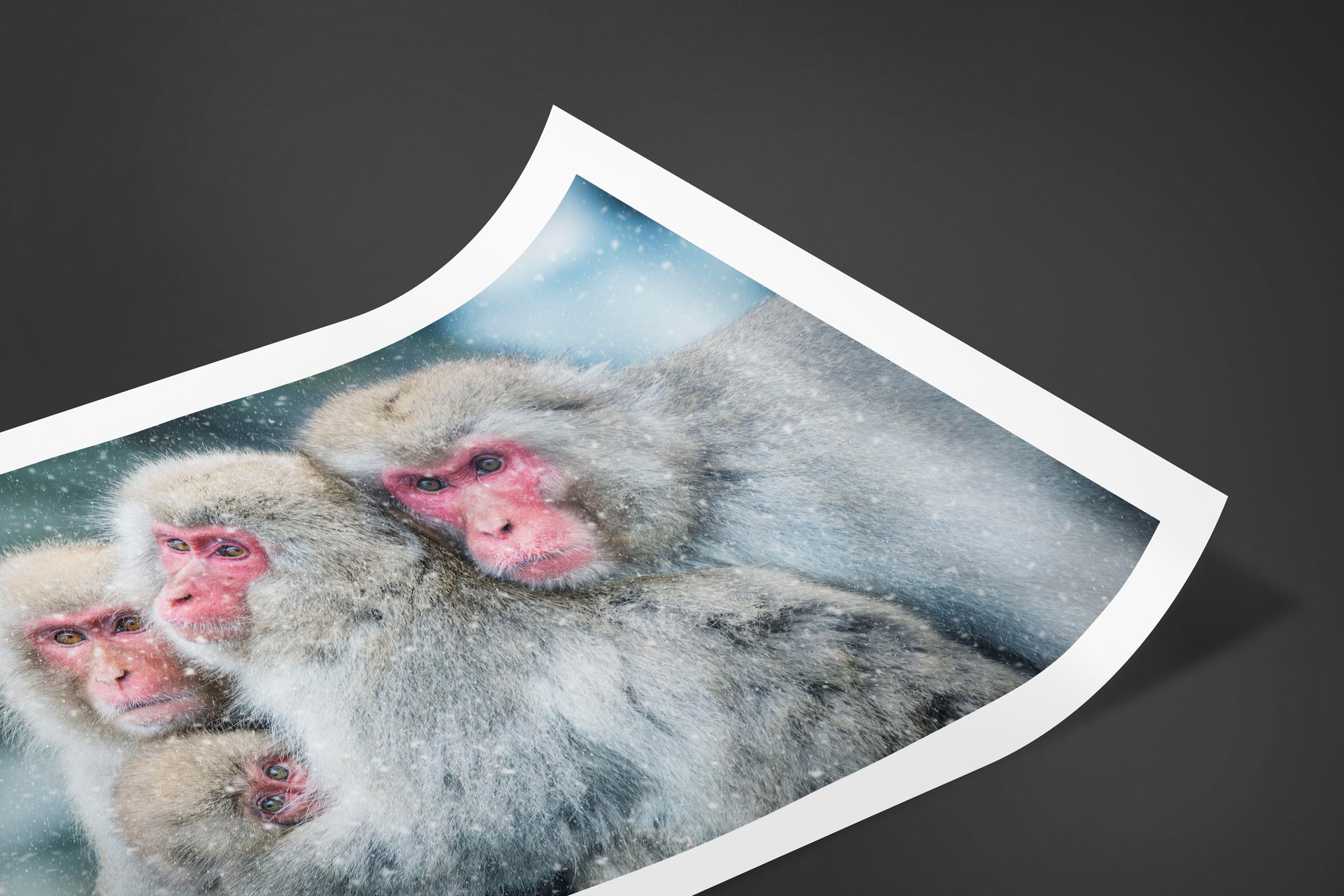 Fine art limited edition print of Snow Monkeys in Nagano, Japan by Brent Goldman Photography