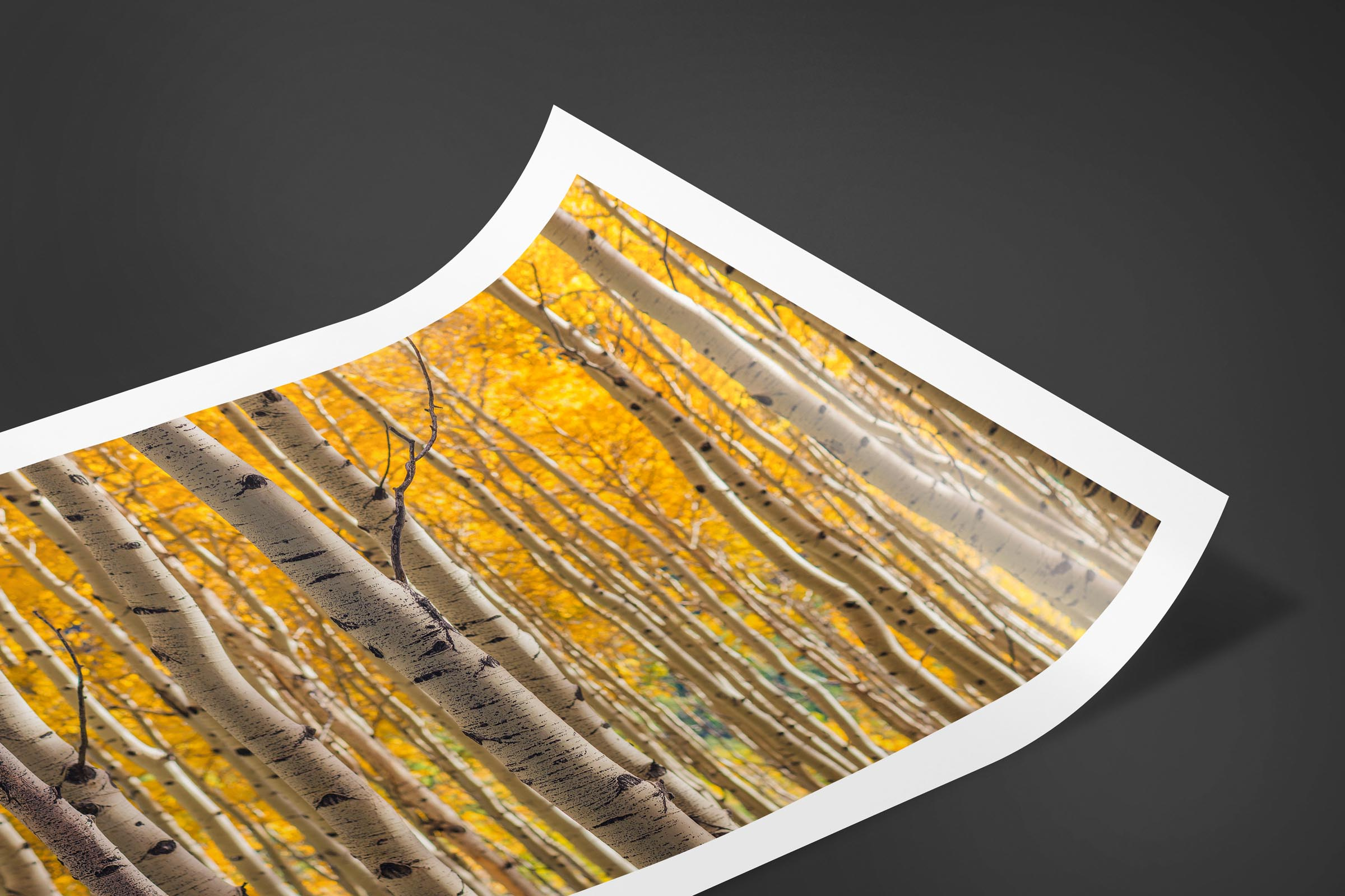 Fine art limited edition print of Aspen Grove in San Juan Mountains, Colorado by Brent Goldman Photography