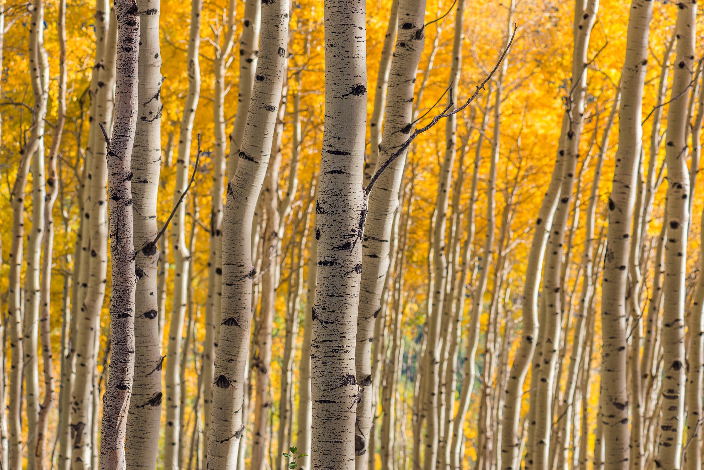 Photograph of Aspen Grove in San Juan Mountains, Colorado by Brent Goldman Photography
