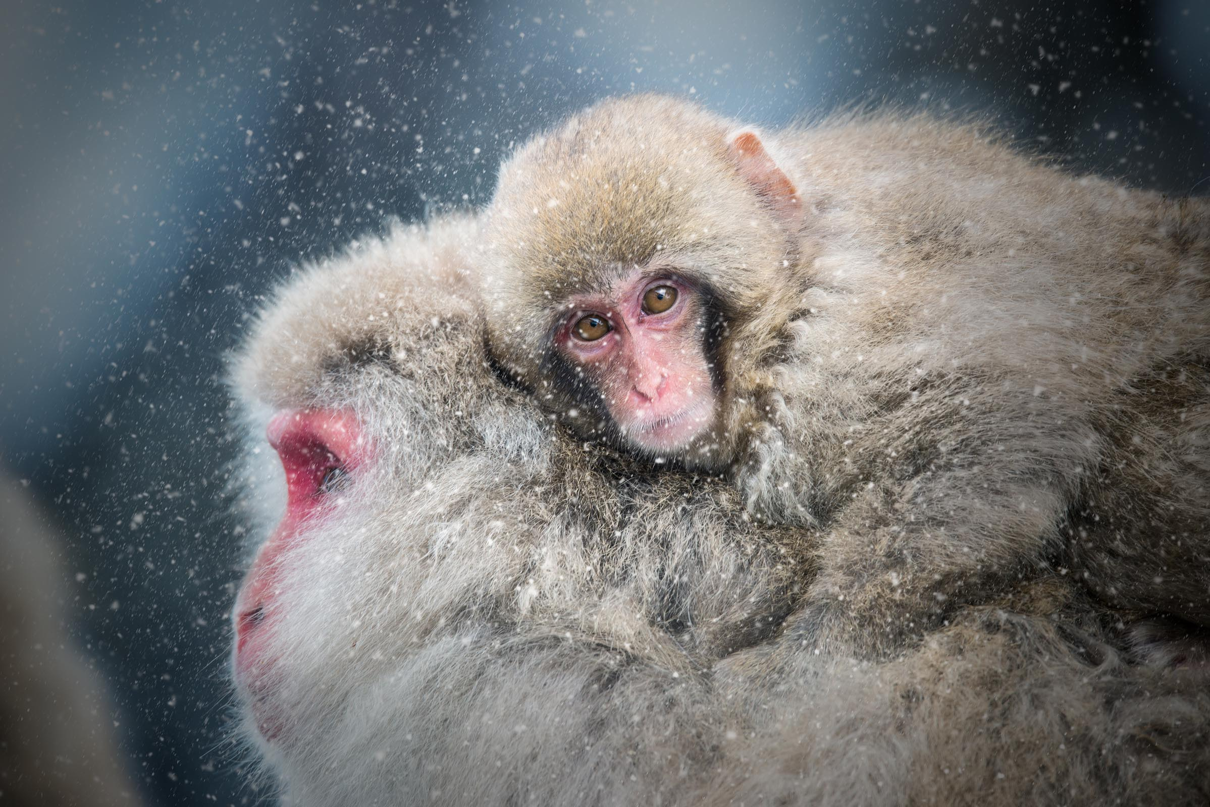 Photograph of Snow Monkey in Nagano, Japan by Brent Goldman Photography