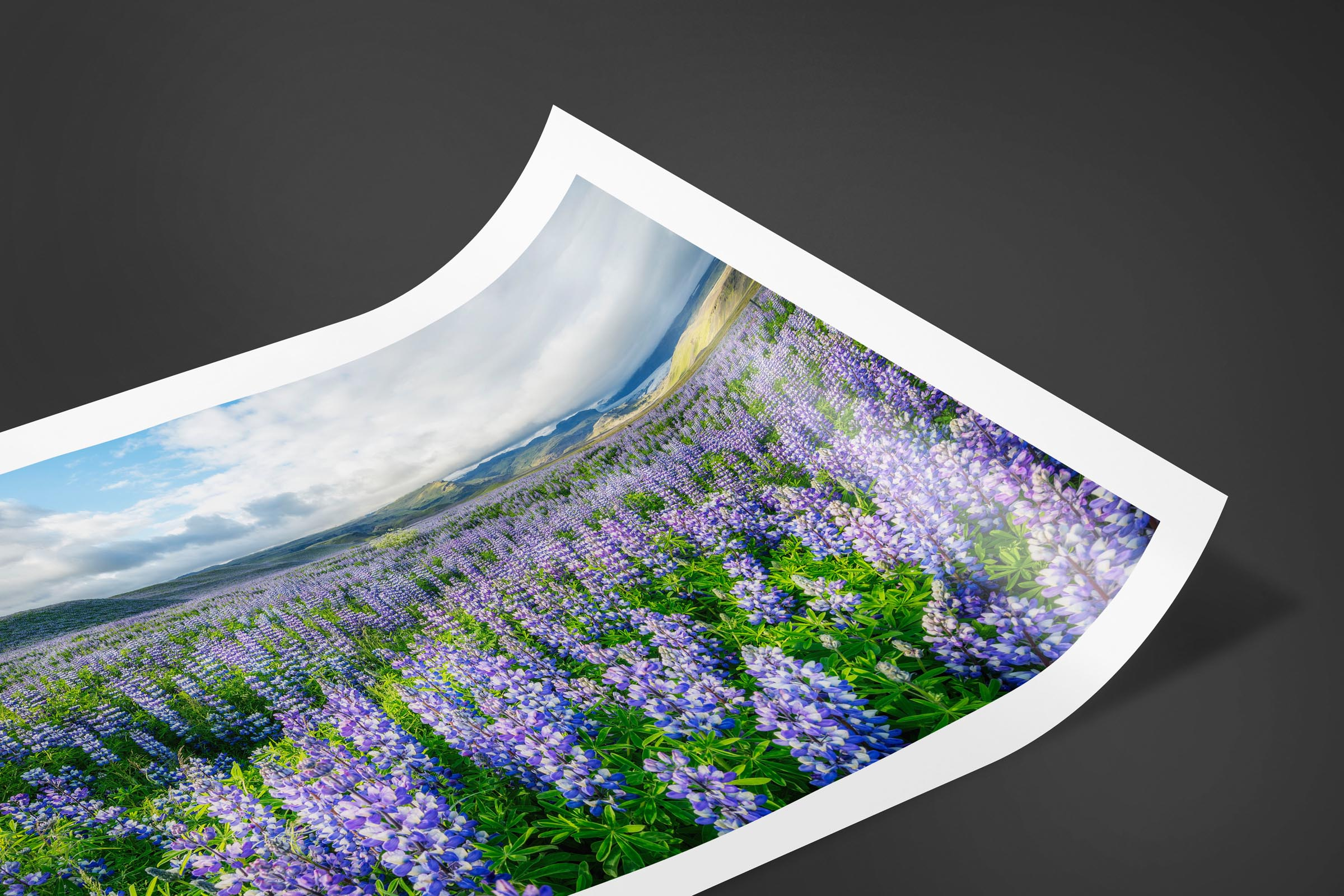 Fine art limited edition print of Lupine Field in Ring Road, Iceland by Brent Goldman Photography