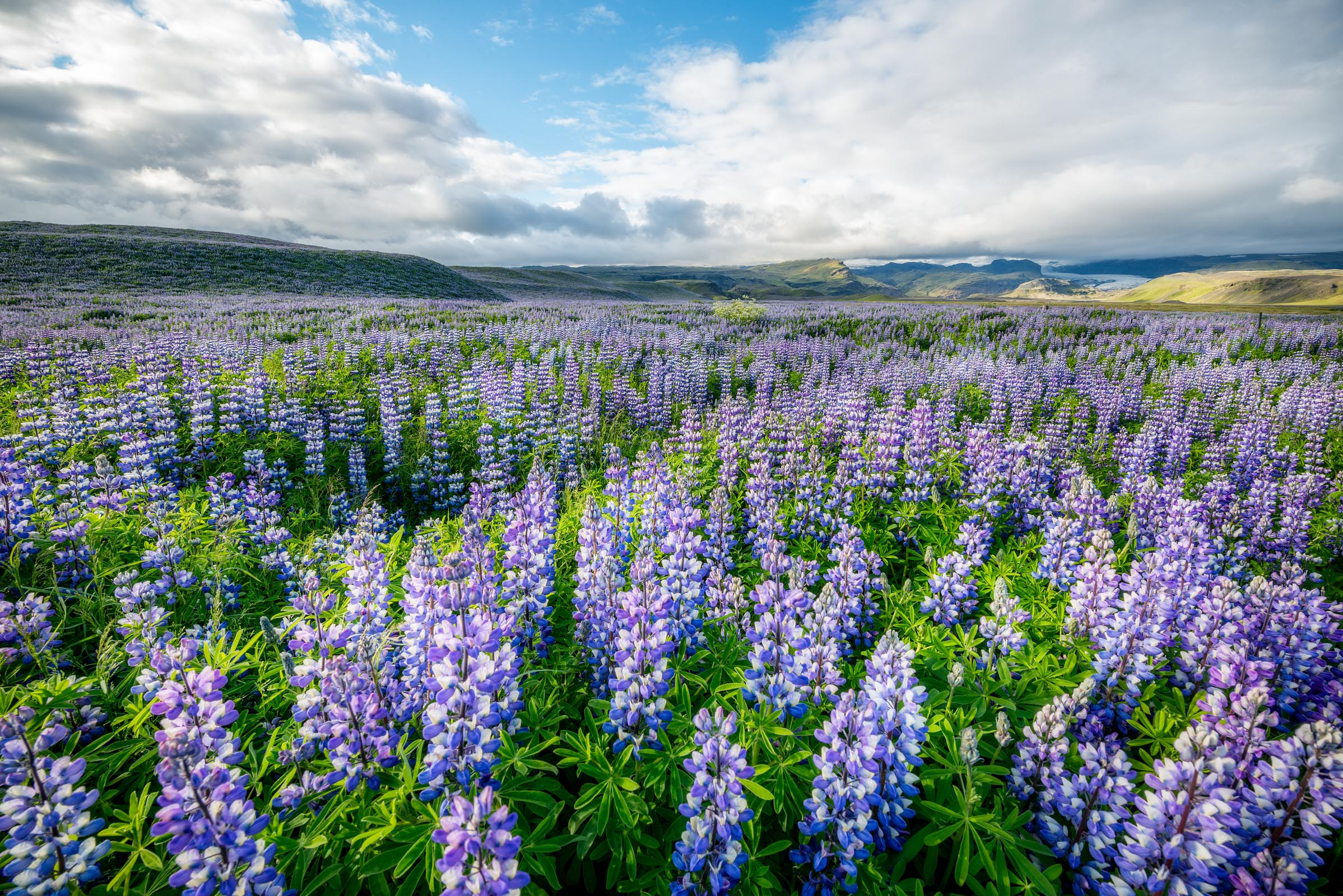 Photograph of Lupine Field in Ring Road, Iceland by Brent Goldman Photography
