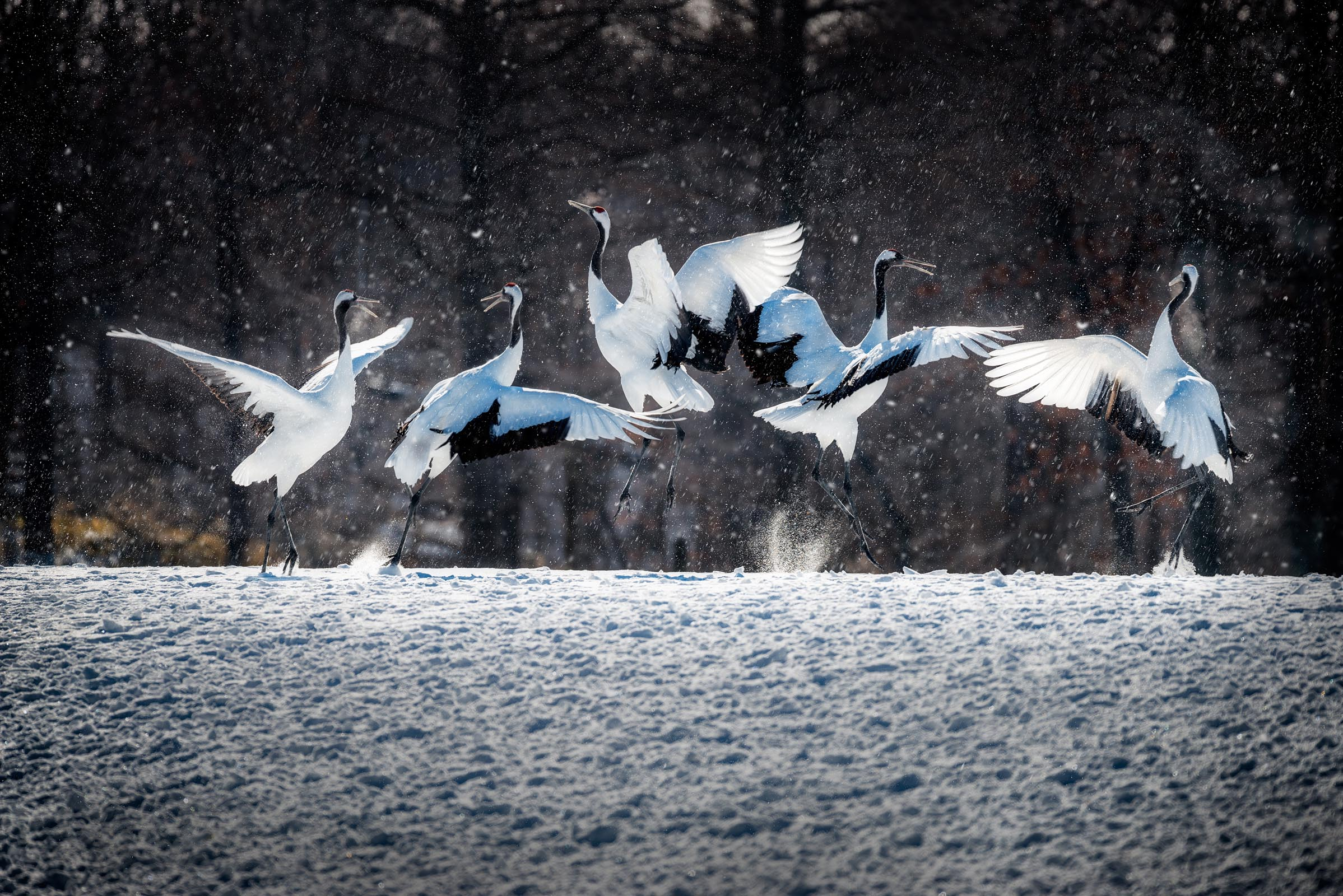 Photograph of Red Crowned Crane in Hokkaido, Japan by Brent Goldman Photography
