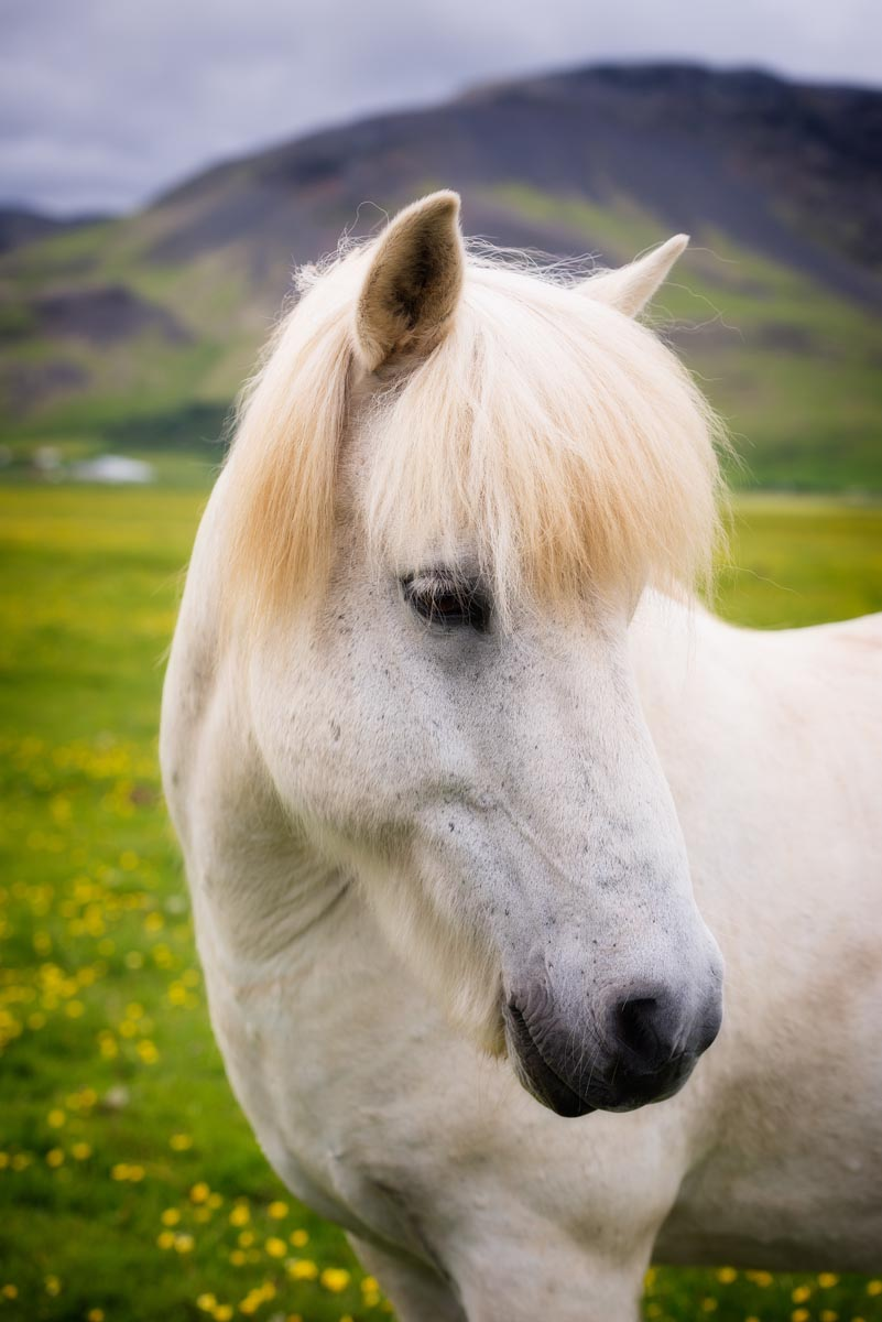Photograph of Horse in Ring Road, Iceland by Brent Goldman Photography
