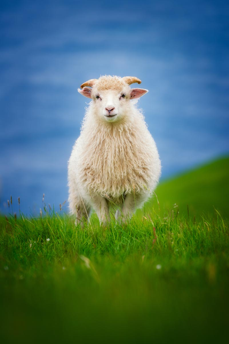 Photograph of Sheep in Kalsoy, Faroe Islands by Brent Goldman Photography