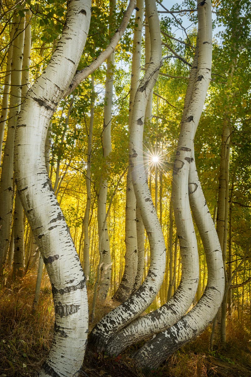 Photograph of Bent Aspens in San Juan Mountains, Colorado by Brent Goldman Photography
