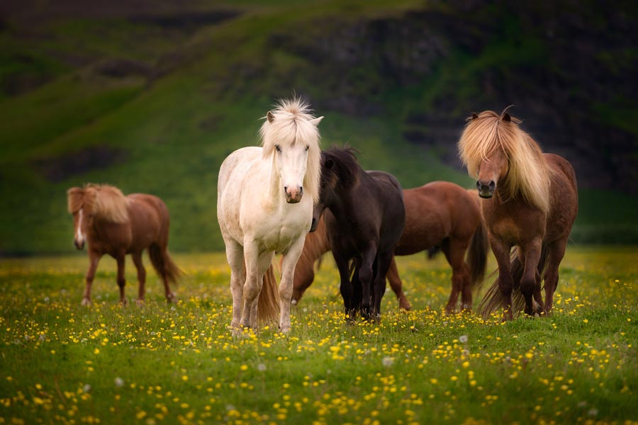 Different colored horses in a meadow with yellow flowers near Ring Road in Iceland