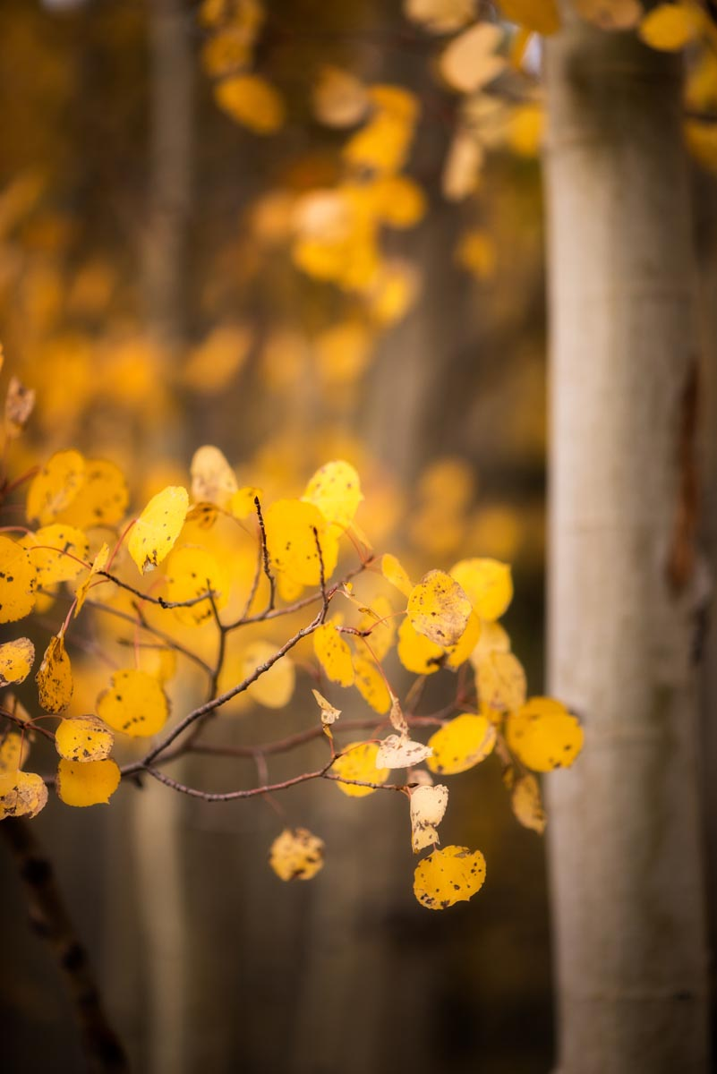 Photograph of Aspen Leaves in Aspen, Colorado by Brent Goldman Photography