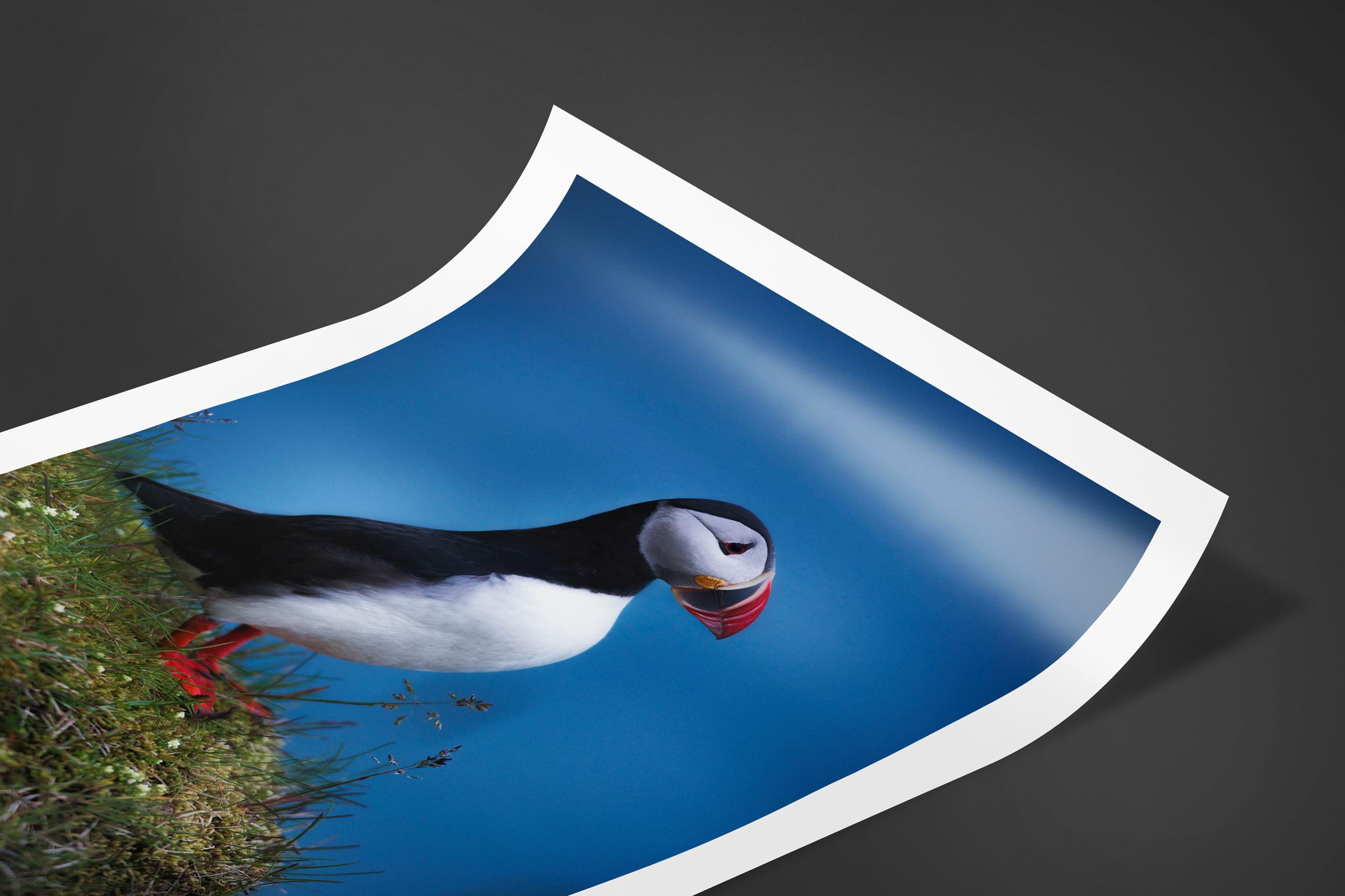 Fine art limited edition print of Puffin in Vik, Iceland by Brent Goldman Photography