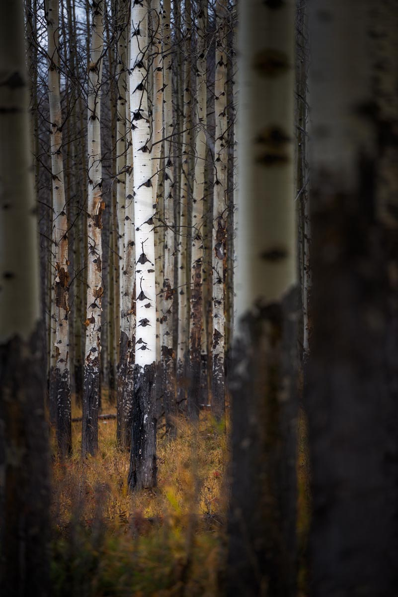 Photograph of Aspen Forest in Banff, Canada by Brent Goldman Photography